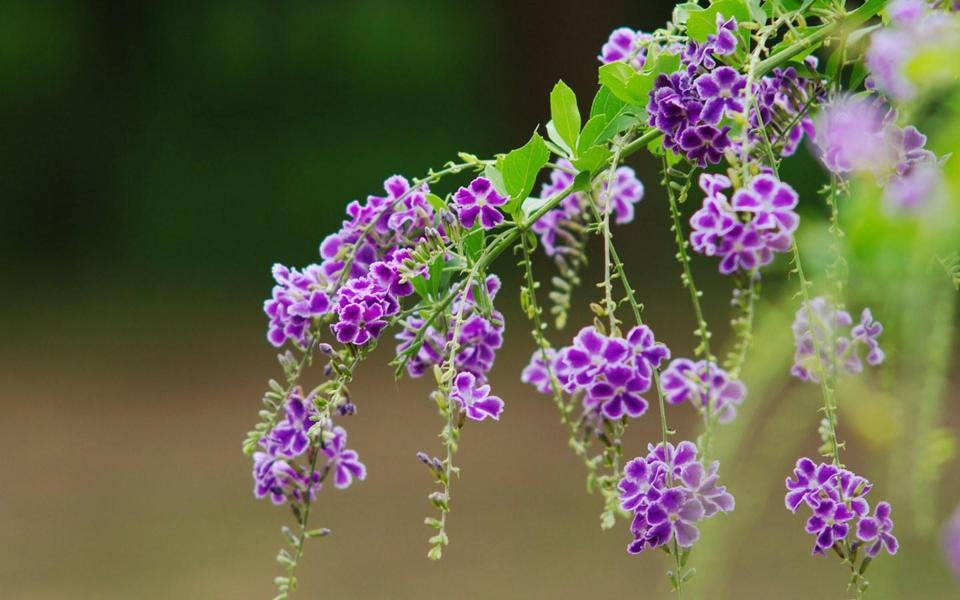 绿色枝头上的紫色花朵桌面壁纸
