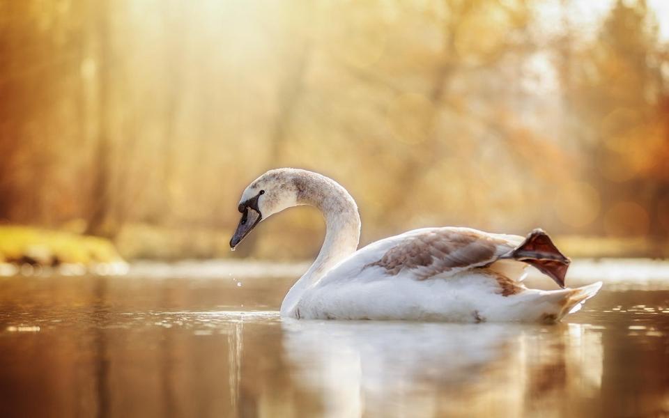 优雅的天鹅唯美意境风景图片壁纸