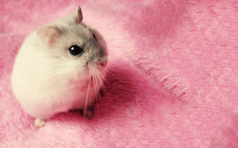 可爱小白鼠高清壁纸图片