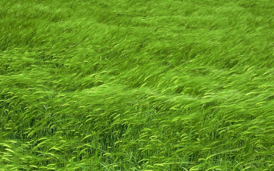 绿色麦田高清壁纸