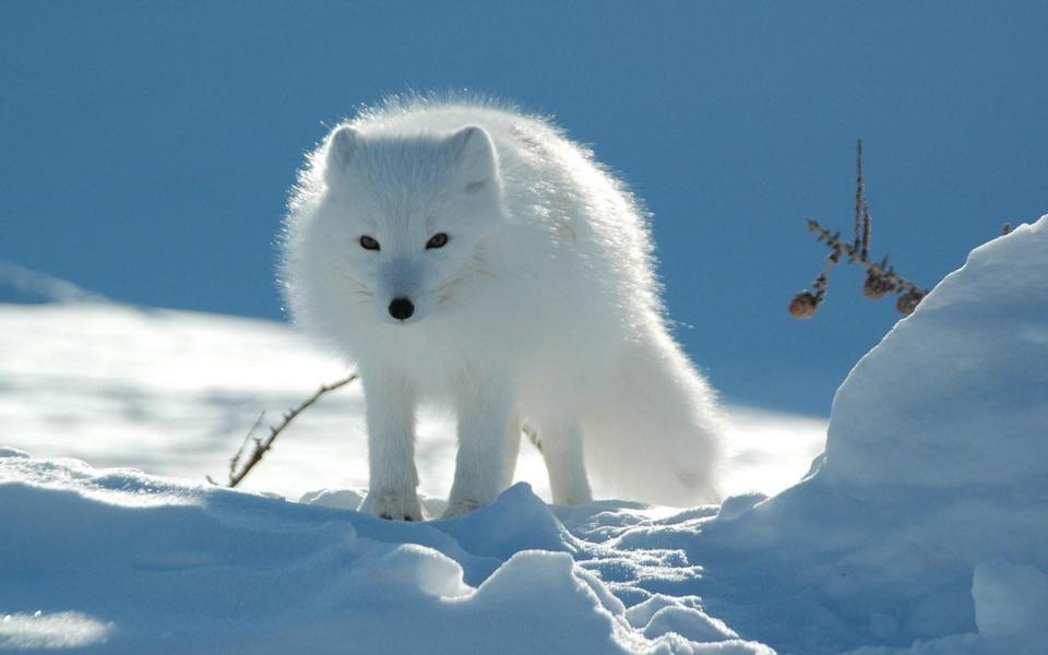 北极狐桌面壁纸