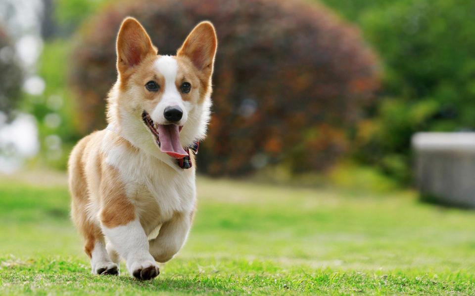 的狗狗可爱宽屏桌面壁纸-电脑桌面壁纸_壁纸大全