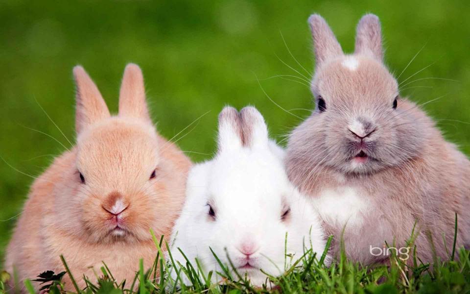 电脑壁纸兔子_三只可爱的小兔子