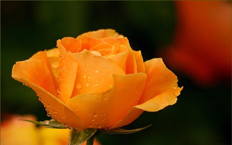 鲜艳的玫瑰花高清壁纸图片