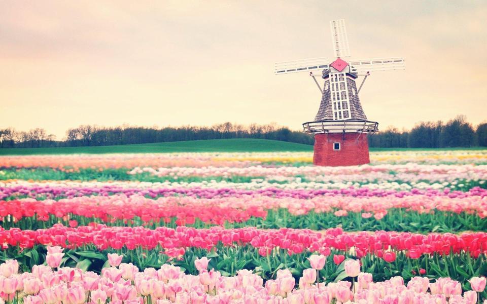 荷兰风车郁金香图片壁纸
