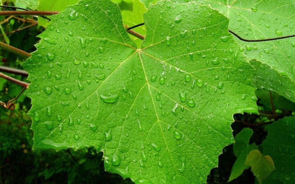 雨后绿叶高清护眼电脑壁纸