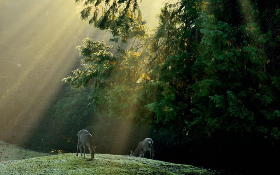 森林动物_森林草地小鹿风景桌面壁纸 .