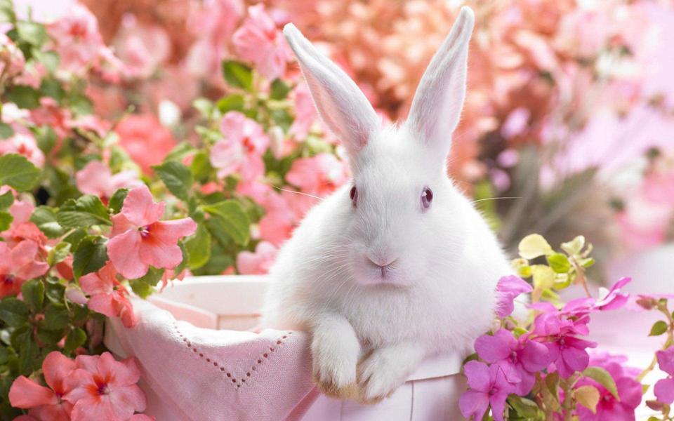 高清可爱的兔子壁纸桌面