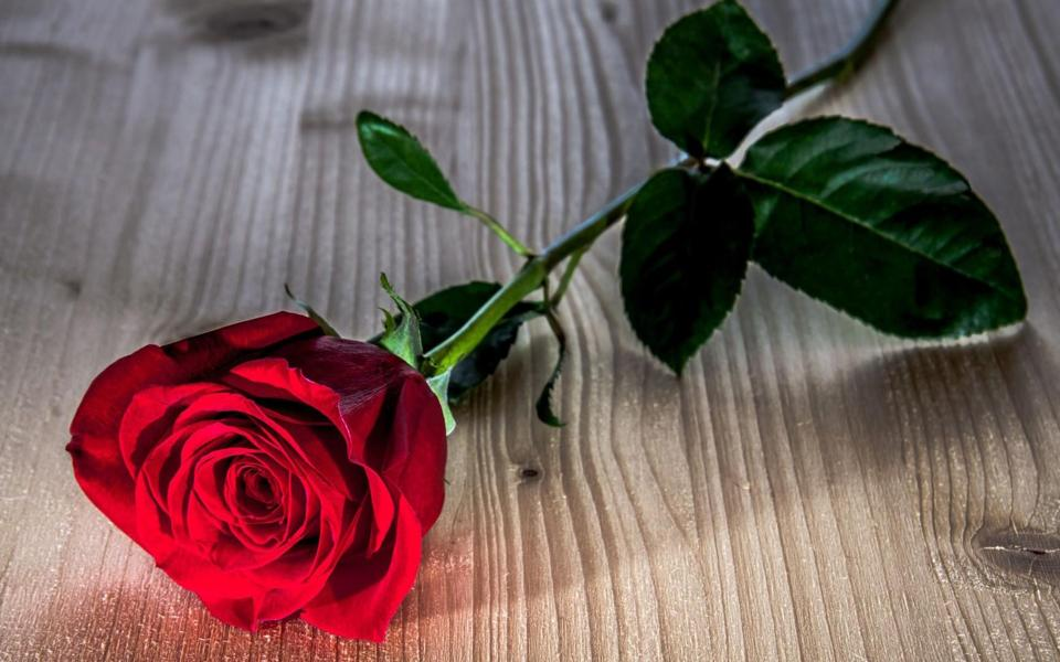 一枝红玫瑰花电脑桌面壁纸