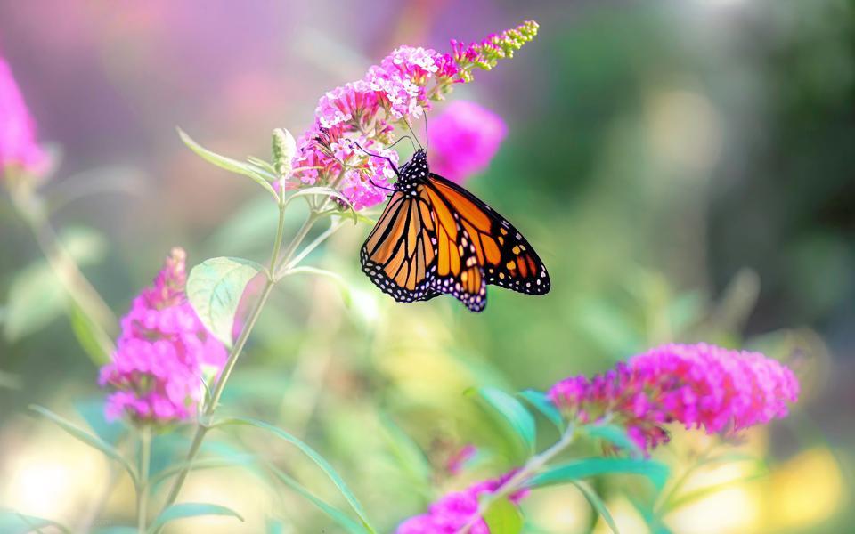 花卉上的斑蝶壁纸
