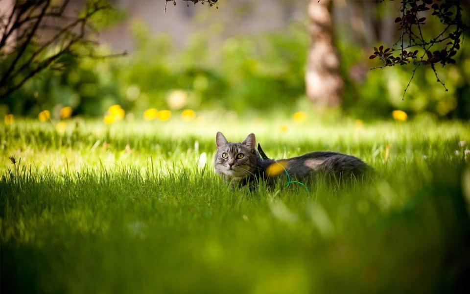 草丛里的猫咪桌面壁纸