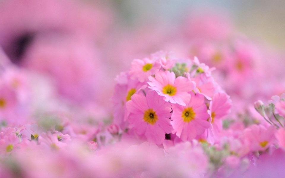 粉色花朵小清新桌面壁纸-电脑桌面壁纸_壁纸大全