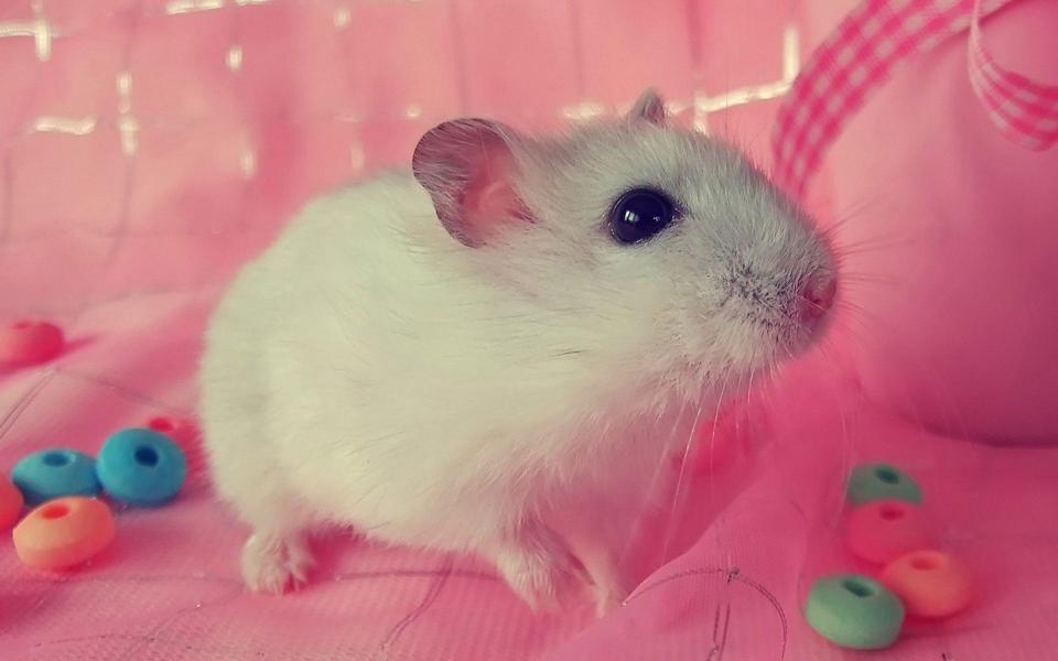 可爱的小白鼠高清动物壁纸-电脑桌面壁纸_壁纸大全