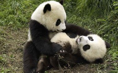 玩耍中的两只可爱的大熊猫