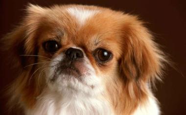大眼睛的狗狗壁纸