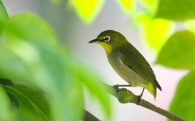 春天树枝上的绣眼鸟绿色护眼壁纸