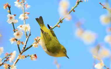 春天桃树枝上的小鸟壁纸
