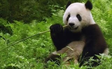 吃竹子的大熊猫电脑桌面壁纸高清下载