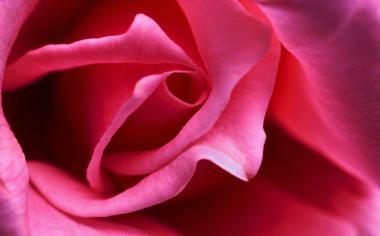 玫瑰花高清花朵桌面背景图片