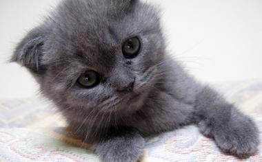 可爱的小灰猫电脑壁纸图片
