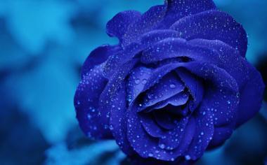 高清蓝色妖姬玫瑰花壁纸图片