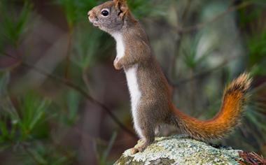 站立的可爱小松鼠桌面壁纸