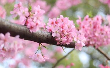 开满枝头的樱花图片壁纸