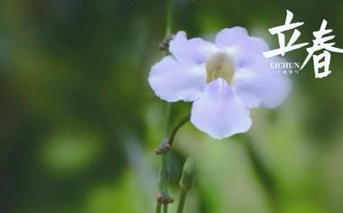 立春时节小清新山牵牛花图片