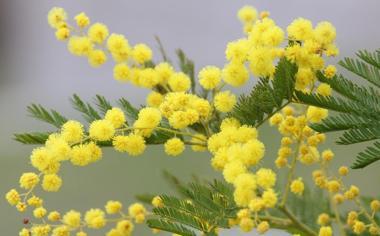 金色清新含羞草花图片桌面壁纸