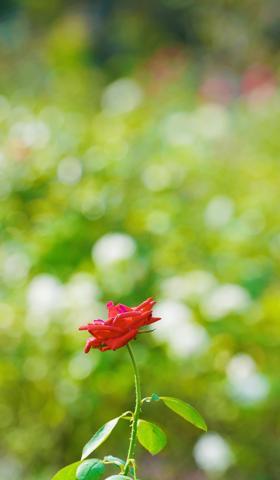 秋天的月季花壁纸手机图片大全4