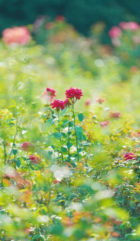 秋天的月季花壁纸手机图片大全7